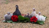 Pigeon Nestlings Birds Sitting On Sand Together With Roses Flower