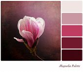 A a single pink magnolia flower on a vintage style background,  in a colour palette with complimenta