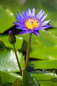 Beautiful blue Egyptian water lily (Nymphaea caerulea) closeup