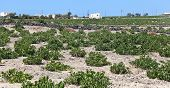 Santorini Vineyard