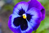 Pansy Violet Flower