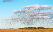 Flock Over A Field