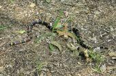 Texas Coral Snake, Micrurus fulvius tener