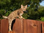 Male Serval Savannah Kitten