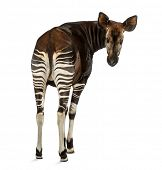 Rear view of an Okapi, looking back at the camera, Okapia johnstoni, isolated on white