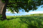Green lush meadow with grass and big spring oak