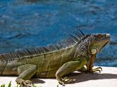 Iguana In Ft Lauderdale  holding his ground