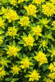 Cushion spurge (E. epithymoides) is one of the most commonly grown garden spurges. Its profuse neon-