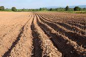 earth ridges in a potato field