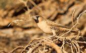 Cape Sparrow (passer Melanurus)