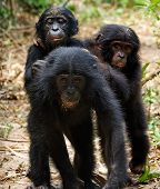 Three Cubs Of Chimpanzee Bonobo