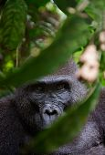 stock photo of gorilla  - Portrait of a female of The western lowland gorilla  - JPG