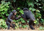 Fighting  Chimpanzee