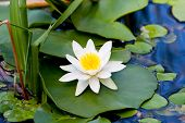 picture of day-lilies  - nice white lily on lake water - JPG