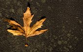 Autumn Mable Leaf