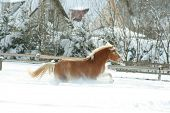 Haflinger With Long Mane Running In The Snow
