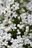 White Flowers Valeriana Officinalis Macro.