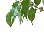 Benjamin Ficus Leaves