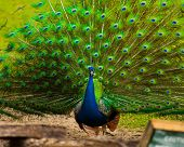 stock photo of peahen  - peacock fluffing his tail feathers and strutting for a peahen - JPG