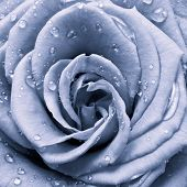 stock photo of rose close up  - blue rose petals close up - JPG