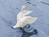 Female Peking duck flying