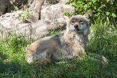 European Gray Wolf (canis Lupus Lupus)