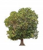 Mangifera Pentandra (wild Mango), Tropical Tree In The Northeast Of Thailand Isolated On White Backg