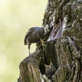 foto of hollow  - Starling and his hungry nestling in a hollow - JPG