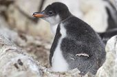 Gentoo Penguin Chick Sitting In The Nest