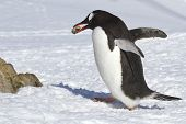 Gentoo Penguin Walking On Snow And Carrying A Stone