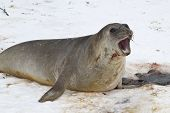 Snarling Young Male Southern Elephant Seals In The Snow Antarctic Islands