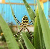 Постер, плакат: Spider wasp