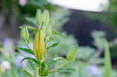 Lily (lilium) Bud On Rainy Day Spring