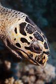 Hawksbill Turtle (eretmochelys Imbricata)