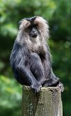 Lion-tailed Macaque Portrait