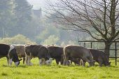 Healthy Cattle Livestock, Idyllic Rural, Uk