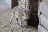 Young Wild Boar In The Barn