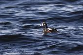 picture of harlequin  - male harlequin duck floating in the ocean sunny autumn day