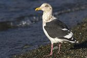 Slaty-backed Gull In Winter Plumage Standing On The Shore Of The Ocean