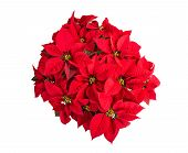 Red Poinsettia Flower, Top View, Isolated