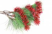 christmas holiday shiny red garland on fir tree isolated over white background