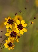 Golden Coreopsis Tinctoria Wildflower Blooms