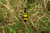 Yellow black grass insects