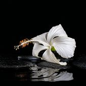 Beautiful Spa Still Life Of Delicate White Hibiscus, Zen Stones With Drops On Ripple Water, Closeup