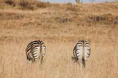 Zebra #8