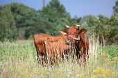 Brown Latvian Cow At The Pasture