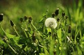 The Dandelion Is Between Green Grass