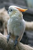 image of cockatoos  - Citron - JPG