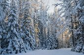 Spruce Covered With Snow In Winter Forest. Viitna, Estonia.