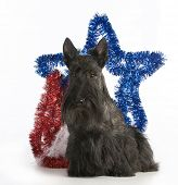 stock photo of scottish terrier  - christmas dog  - JPG